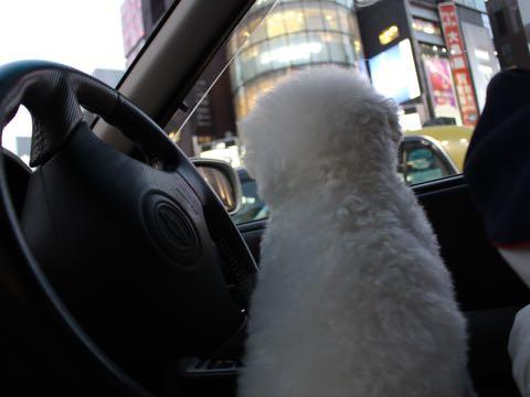 ビションフリーゼ子犬フントヒュッテこいぬ家族募集里親関東_3140.jpg