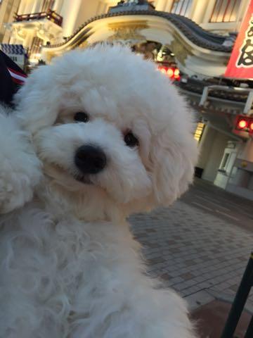 ビションフリーゼ子犬フントヒュッテこいぬ家族募集里親関東_3142.jpg