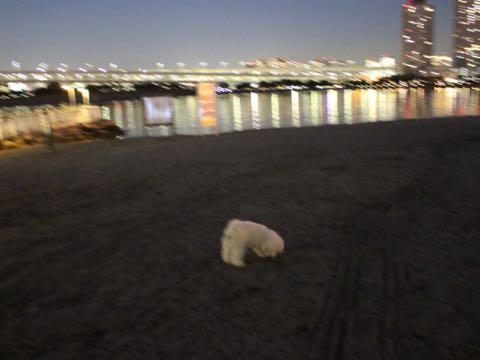 ビションフリーゼ子犬フントヒュッテこいぬ家族募集里親関東_3152.jpg