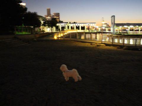 ビションフリーゼ子犬フントヒュッテこいぬ家族募集里親関東_3154.jpg