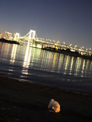 ビションフリーゼ子犬フントヒュッテこいぬ家族募集里親関東_3156.jpg