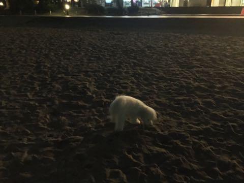 ビションフリーゼ子犬フントヒュッテこいぬ家族募集里親関東_3158.jpg