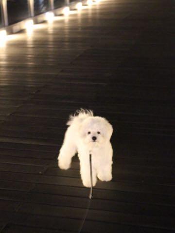 ビションフリーゼ子犬フントヒュッテこいぬ家族募集里親関東_3162.jpg