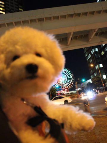 ビションフリーゼ子犬フントヒュッテこいぬ家族募集里親関東_3170.jpg