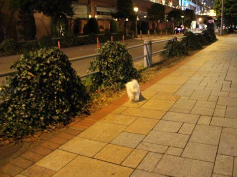 ビションフリーゼ子犬フントヒュッテこいぬ家族募集里親関東_3180.jpg