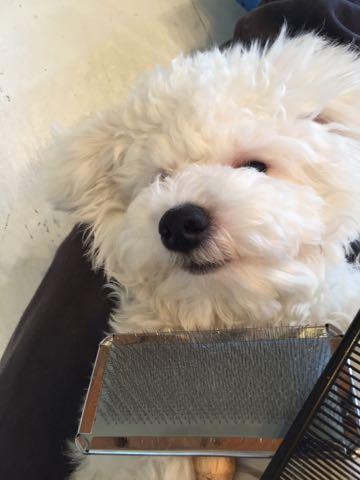 ビションフリーゼ子犬フントヒュッテこいぬ家族募集里親関東_3195.jpg