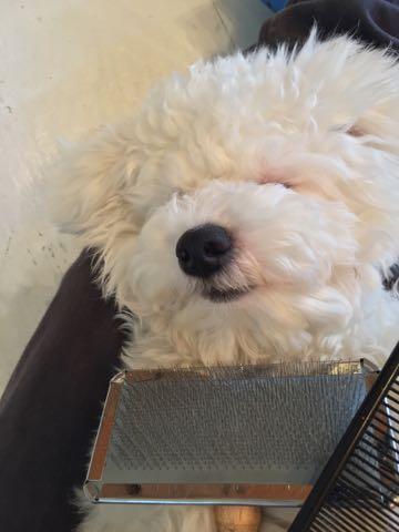 ビションフリーゼ子犬フントヒュッテこいぬ家族募集里親関東_3196.jpg