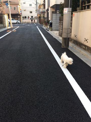 ビションフリーゼ子犬フントヒュッテこいぬ家族募集里親関東_3197.jpg