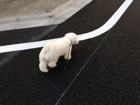 ビションフリーゼ子犬フントヒュッテこいぬ家族募集里親関東_3198.jpg