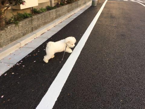 ビションフリーゼ子犬フントヒュッテこいぬ家族募集里親関東_3199.jpg