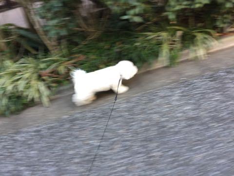 ビションフリーゼ子犬フントヒュッテこいぬ家族募集里親関東_3202.jpg