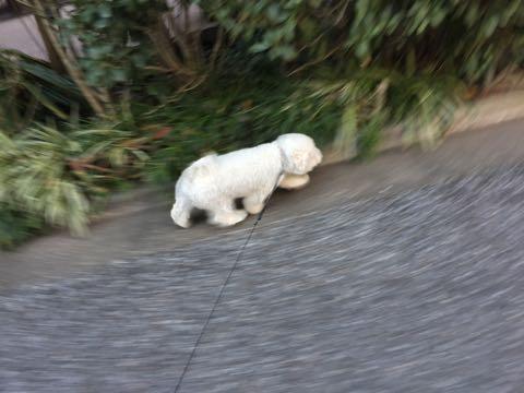 ビションフリーゼ子犬フントヒュッテこいぬ家族募集里親関東_3203.jpg