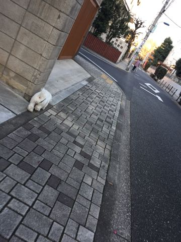 ビションフリーゼ子犬フントヒュッテこいぬ家族募集里親関東_3207.jpg