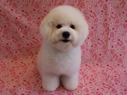 ビションフリーゼ子犬フントヒュッテこいぬ家族募集里親関東_3210.jpg