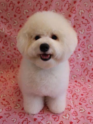 ビションフリーゼ子犬フントヒュッテこいぬ家族募集里親関東_3212.jpg