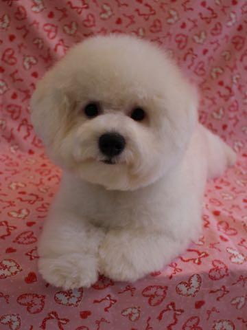 ビションフリーゼ子犬フントヒュッテこいぬ家族募集里親関東_3222.jpg