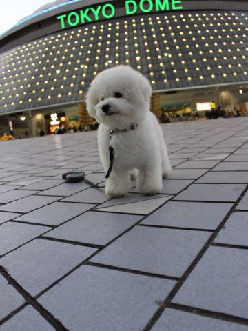 ビションフリーゼ子犬フントヒュッテこいぬ家族募集里親関東_3232.jpg