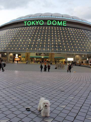 ビションフリーゼ子犬フントヒュッテこいぬ家族募集里親関東_3233.jpg