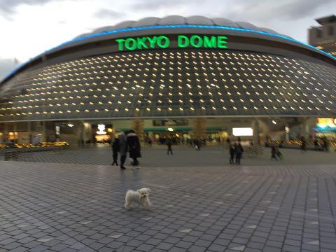 ビションフリーゼ子犬フントヒュッテこいぬ家族募集里親関東_3234.jpg