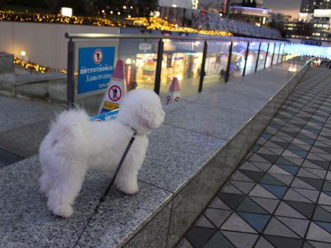 ビションフリーゼ子犬フントヒュッテこいぬ家族募集里親関東_3240.jpg