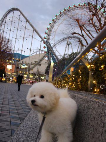 ビションフリーゼ子犬フントヒュッテこいぬ家族募集里親関東_3242.jpg