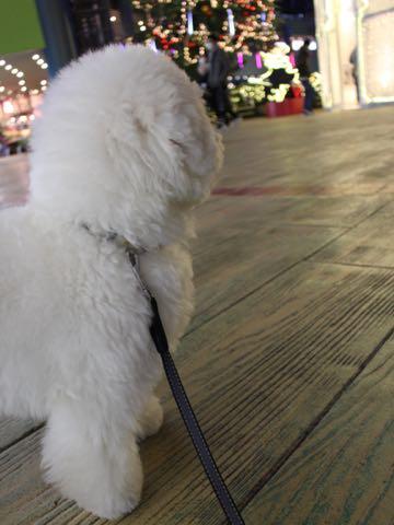 ビションフリーゼ子犬フントヒュッテこいぬ家族募集里親関東_3248.jpg