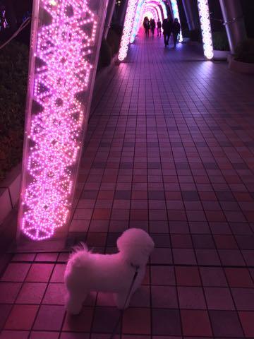 ビションフリーゼ子犬フントヒュッテこいぬ家族募集里親関東_3251.jpg