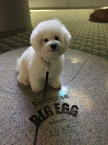 ビションフリーゼ子犬フントヒュッテこいぬ家族募集里親関東_3255.jpg