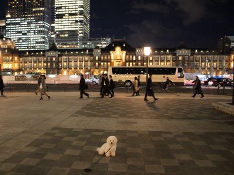 ビションフリーゼ子犬フントヒュッテこいぬ家族募集里親関東_3262.jpg