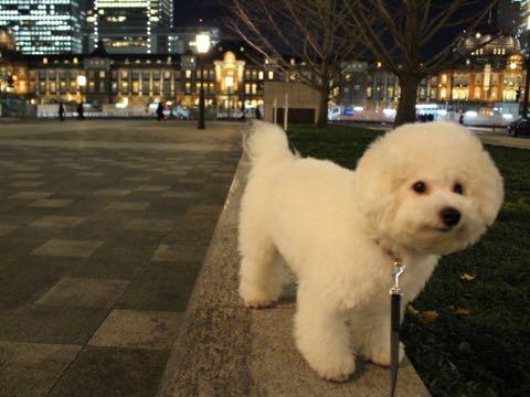 ビションフリーゼ子犬フントヒュッテこいぬ家族募集里親関東_3267.jpg