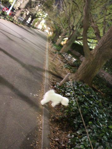 ビションフリーゼ子犬フントヒュッテこいぬ家族募集里親関東_3271.jpg