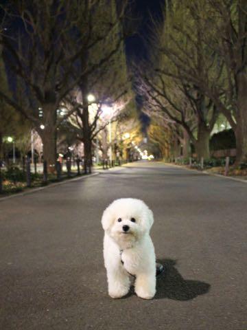 ビションフリーゼ子犬フントヒュッテこいぬ家族募集里親関東_3276.jpg