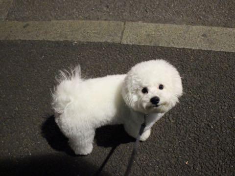 ビションフリーゼ子犬フントヒュッテこいぬ家族募集里親関東_3277.jpg