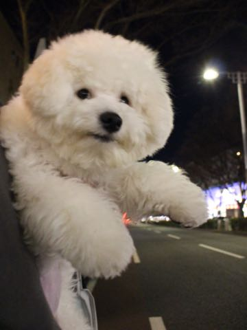 ビションフリーゼ子犬フントヒュッテこいぬ家族募集里親関東_3287.jpg
