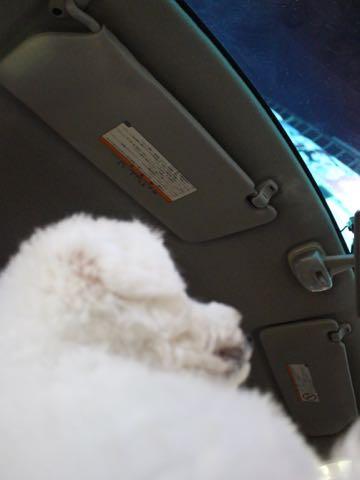 ビションフリーゼ子犬フントヒュッテこいぬ家族募集里親関東_3293.jpg
