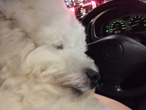 ビションフリーゼ子犬フントヒュッテこいぬ家族募集里親関東_3296.jpg