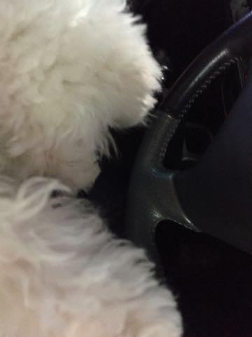 ビションフリーゼ子犬フントヒュッテこいぬ家族募集里親関東_3300.jpg