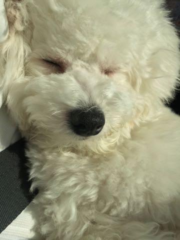 ビションフリーゼ子犬フントヒュッテこいぬ家族募集里親関東_3305.jpg