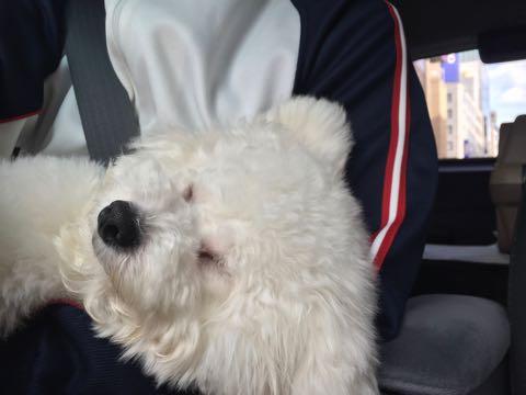 ビションフリーゼ子犬フントヒュッテこいぬ家族募集里親関東_3306.jpg