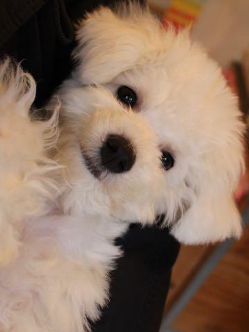 ビションフリーゼ子犬フントヒュッテこいぬ家族募集里親関東_3307.jpg