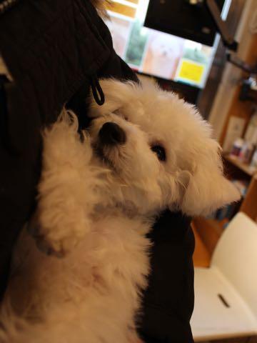 ビションフリーゼ子犬フントヒュッテこいぬ家族募集里親関東_3308.jpg