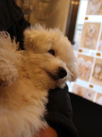 ビションフリーゼ子犬フントヒュッテこいぬ家族募集里親関東_3309.jpg