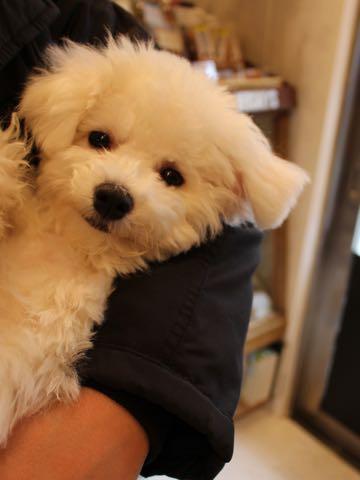 ビションフリーゼ子犬フントヒュッテこいぬ家族募集里親関東_3310.jpg