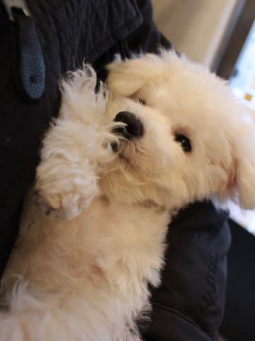 ビションフリーゼ子犬フントヒュッテこいぬ家族募集里親関東_3311.jpg