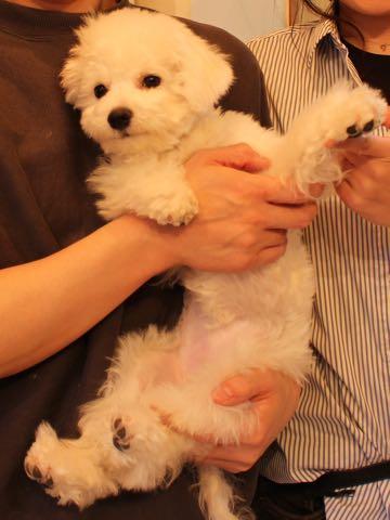 ビションフリーゼ子犬フントヒュッテこいぬ家族募集里親関東_3316.jpg