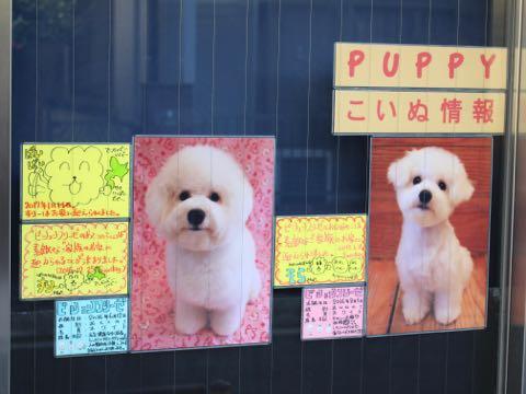 ビションフリーゼ子犬フントヒュッテこいぬ家族募集里親関東_3317.jpg