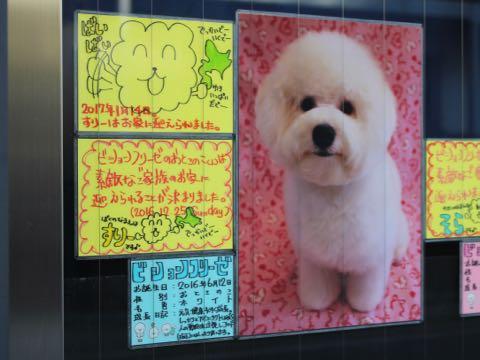 ビションフリーゼ子犬フントヒュッテこいぬ家族募集里親関東_3318.jpg