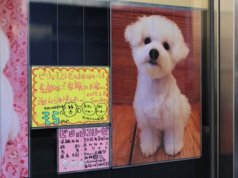 ビションフリーゼ子犬フントヒュッテこいぬ家族募集里親関東_3319.jpg