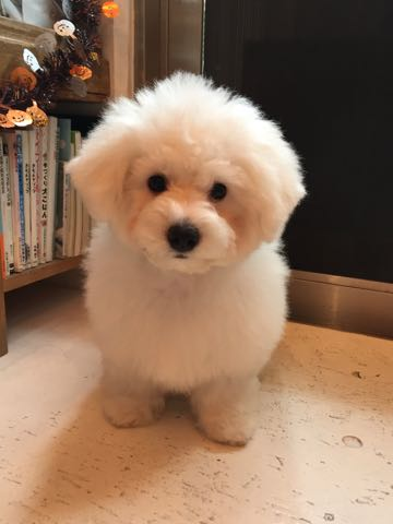 ビションフリーゼ子犬フントヒュッテこいぬ家族募集里親関東_1675.jpg