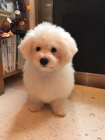 ビションフリーゼ子犬フントヒュッテこいぬ家族募集里親関東_1676.jpg